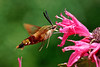 Bugs & Blooms 2017 - a closer look at our backyard flora and fauna.<br /> The Hummingbird Moth, my all time favorite bug!