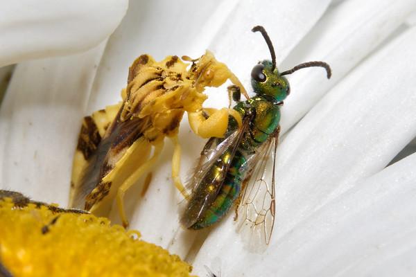 Bugs & Blooms 2017 - a closer look at our backyard flora and fauna.<br /> Jagged Ambush Bug eats a bee.