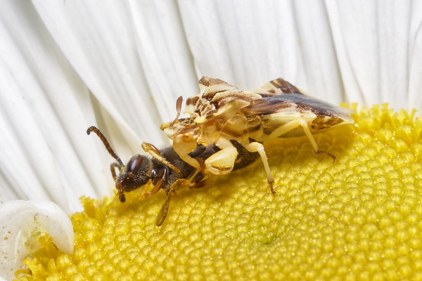 Bugs & Blooms 2017 - a closer look at our backyard flora and fauna.<br /> Lunch time - Jagged Ambush Bug eats a bee.
