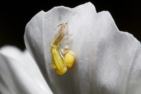 Bugs & Blooms 2017 - a closer look at our backyard flora and fauna.<br /> No. 3 of a 10 shot sequence of a tiny spider molting on the underside of a white Cosmo petal. I've never seen this before - fascinating!