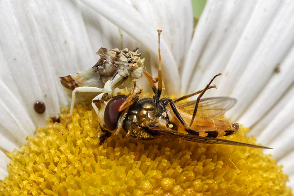 Bugs & Blooms 2017 - a closer look at our backyard flora and fauna.<br /> Jagged Ambush Bug eats a bee more than twice it's size.