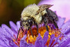 Bugs & Blooms 2017 - a closer look at our backyard flora and fauna.<br /> Summer is fading and some garden residents are caught spending the cool, damp nights out in the open.<br /> A dew covered bumble bee waits on an aster blossom for the warmth of the morning sun.