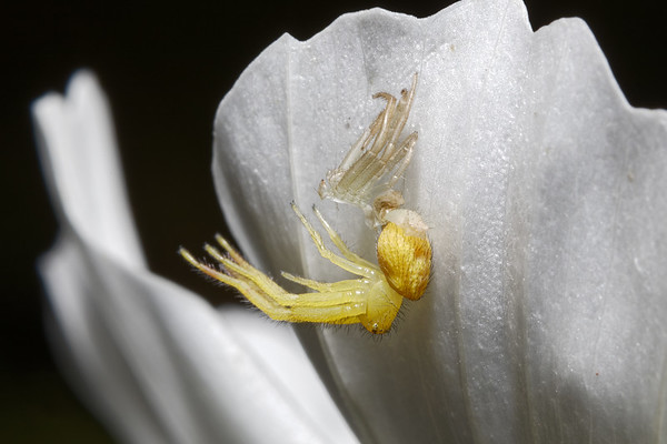 Bugs & Blooms 2017 - a closer look at our backyard flora and fauna.<br /> No. 10 of a 10 shot sequence of a tiny spider molting on the underside of a white Cosmo petal. I've never seen this before - fascinating!