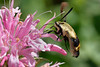 Bugs & Blooms 2018 - a closer look at our backyard flora and fauna.<br /> The Hummingbird Moth, my favorite bug of all time.