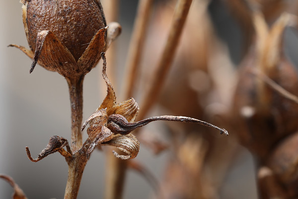 Bugs & Blooms 2018 - a closer look at our backyard flora and fauna.<br /> In the dead of winter, it's interesting to explore the seed pods and other leftovers from last year's growing season.