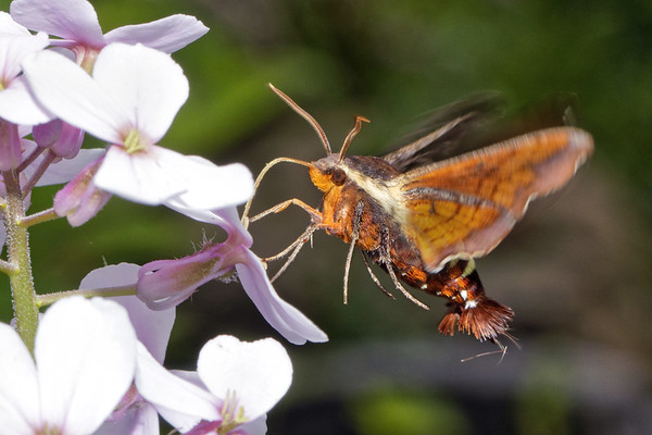 Bugs & Blooms 2018 - a closer look at our backyard flora and fauna.<br /> The Hummingbird Moth, my favorite bug of all time, is making an early appearance.