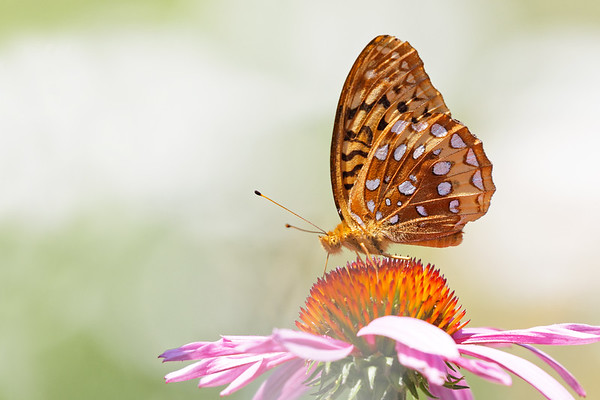 Bugs & Blooms 2018 - a closer look at our backyard flora and fauna.<br /> Large numbers of Great Spangled Fritillaries have appeared recently.