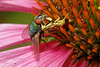 Bugs & Blooms 2019 - a closer look at our backyard flora and fauna.<br /> Jagged Ambush Bug eats a fly on a cone flower blossom.