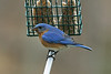 Bugs & Blooms 2021 - a closer look at our backyard flora and fauna.<br /> Bluebirds are back, nesting close by and chowing on the suet.