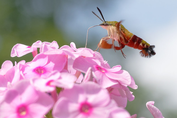 bugs and blooms 2013 - a closer look at our backyard flora & fauna. Hummingbird moth - one of the coolest bugs ever!