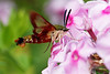 bugs and blooms 2013 - a closer look at our backyard flora & fauna.Hummingbird moth - one of the coolest bugs ever!