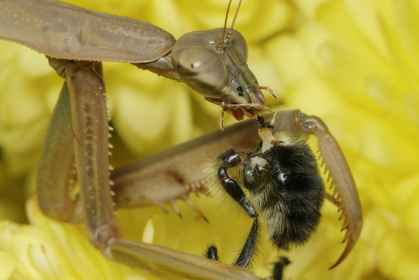 Praying Mantis eating a bumble bee. Fascinating to watch but I had no idea that one of nature's most delicate, graceful  creatures was such a voracious carnivore.