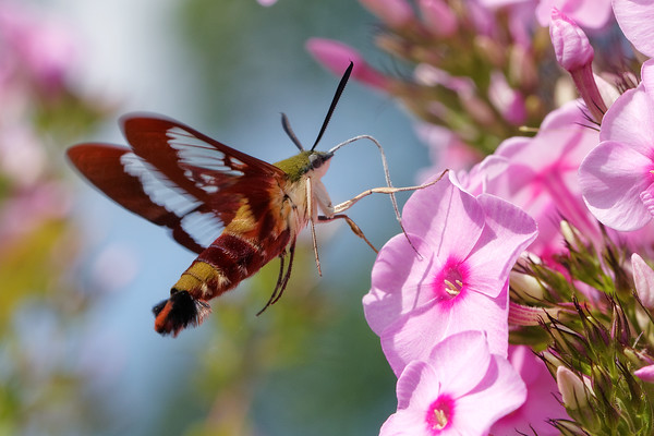 bugs and blooms 2013 - a closer look at our backyard flora & fauna.<br /> Hummingbird moth - one of the coolest bugs ever!