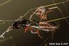 Eating ant queen on Golden Orb Weaver web.