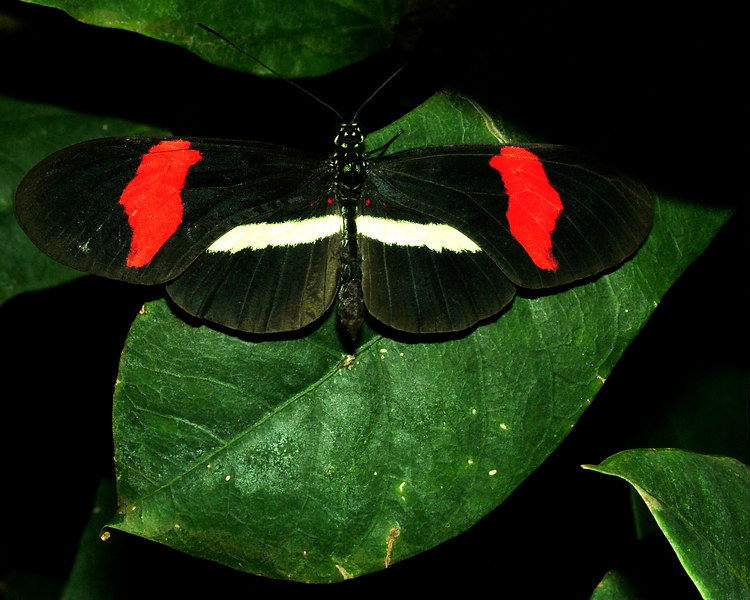 Common Postman, Heliconius erato, Central to South America
