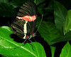 Small Postman Butterfly<br /> Heliconius erato<br /> The delightful Hacienda Barú Wildlife Refuge also supports a butterfly sanctuary, home to many of the species found throughout Costa Rica.