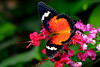 Ruby Lacewing Butterfly