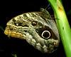 Tawny Owl Butterfly (CaligoMemonon)