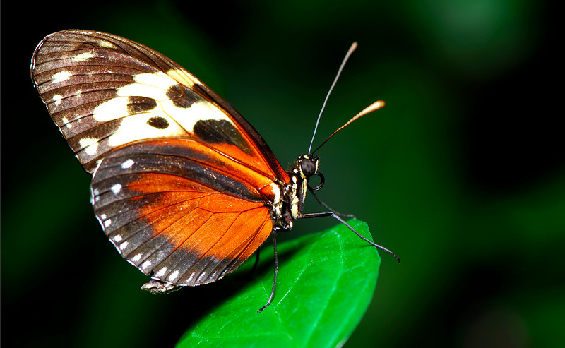 Heliconius hecale <br /> Heliconius Longwing  found from Mexico to Peruvian Amazon.