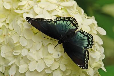 Black Butterfly on White Hydrangea