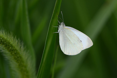 Cabbage White in Tall Grasses