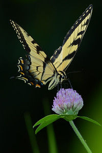 Tiger Swallowtail on Clover