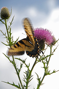 Tiger Swallowtail Takeoff