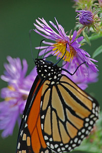Monarch on an Aster