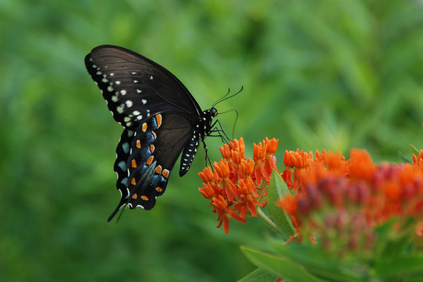 Spicebush Swallowtail on Butterfly Weed