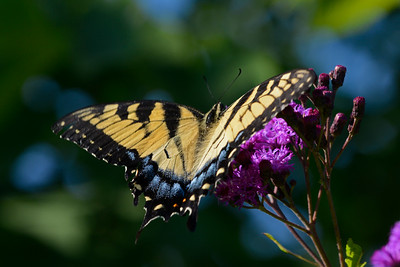 Light Female Tiger Swallowtail on Ironweed