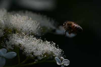Honey Bee Approaching a Wild Hydrangea