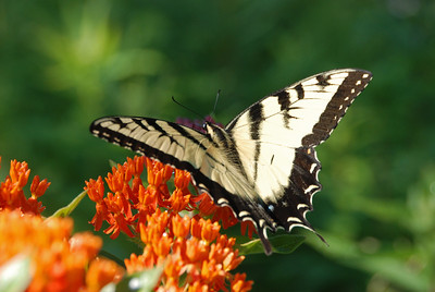 Male Tiger Swallowtail in the Sun