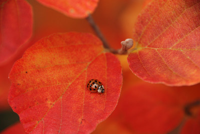 Ladybug on Matching Weigela Leaf