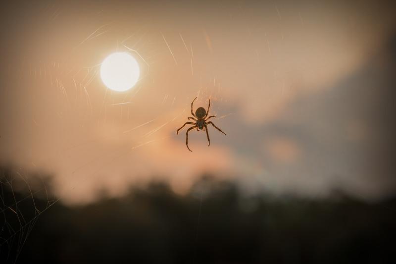 Gray Cross Spider, aka Larinioides sclopetarius.