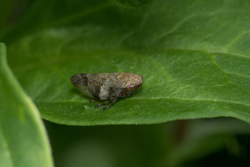 Frog hopper / Cercopoidea