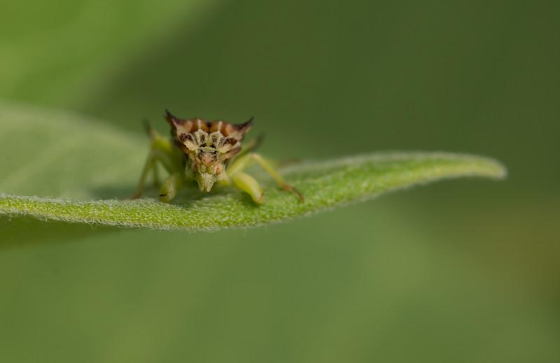 Ambush bug /