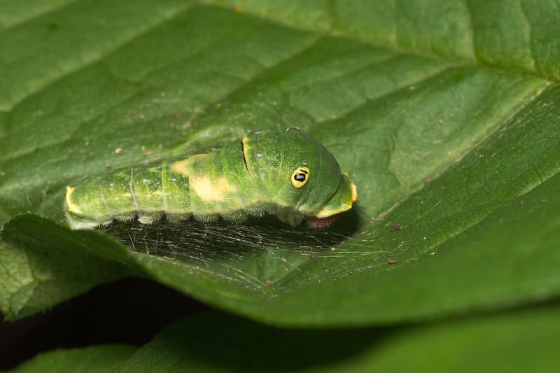 Tiger Swallowtail caterpillar / chenille du papillon glauque du Canada