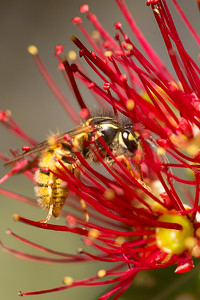 Wasp on Pohutukawa Flower