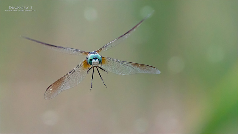 A 3 shot series of this dragonfly and its food, as the white circles in the background are gnats.<br /> <br /> Dragonfly 3