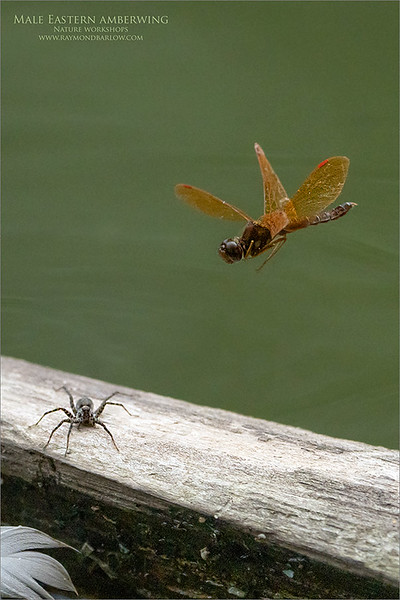 Male Eastern amberwing Chasing off a water spider.<br /> <br /> Maria and I spent some time with this beautiful dragonfly and caught s few decent shots.  It was fun to watch it hunt and land on this stick in the creek.  <br /> <br /> Very dark conditions forced me to get up to 1600 ISO, giving me 1/4000 sec to attempt to freeze the wings.  Hoping for another try with some sunlight soon.  <br /> <br /> If you know of any good dragonfly locations, please let me know!<br /> <br /> ray@raymondbarlow.com <br /> <br /> Thanks for looking!