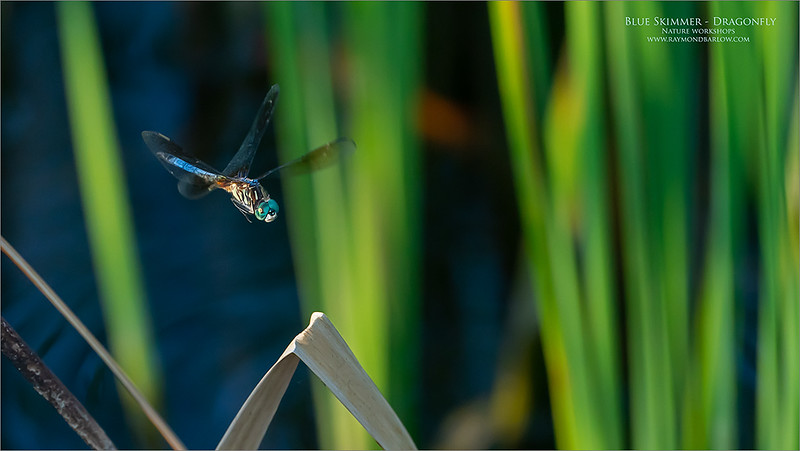 Blue Skimmer on its Final Approach!<br /> <br /> Watching and photographing these amazing bugs is a treat.<br /> <br /> Knowing I was going to have a heavy crop, and pushing the ISO to 2,000 was a bit risky.  F9 helped with the depth of field, and the sharpness of the fly.   <br /> <br /> The high heat last night was a bit much for me, so I made my way back to the air-conditioned car before thing went too sour.  Be careful out there in this heat and humidity, it is dangerous.  I watched a documentary shot in Africa a while back, these dudes were in a long hike is extreme heat with no shade.  One of the fellows that hooked up for this shoot died, in the middle of filming.  What a terrible and unfortunate thing to have happened.<br /> <br /> If you would like to learn this photography technique, please contact me within the next couple of weeks.  ray@raymondbarlow.com<br /> <br /> Thanks for looking!