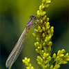 Damselfly on Goldenrod<br /> <br /> Another early morning to beat the heat, and off to our favourite nature area to photograph these beauties!<br /> <br /> So the APS-C sensor on the A9 with a 1.5 crop factor, then the 1.4 teleconverter, giving me 1260 mm, @ f14 and a shutter speed of 1/125 for this shot at ISO 250.  F14 with this much reach worked well for this image.  <br /> <br /> The minimum focus distance with this kit is about 2 meters, so we keep a fair distance from our subjects, and they do not get flushed.<br /> <br /> Again, the tripod and Gimbal head are a must!<br /> <br /> Thanks for looking!