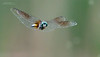 A 3 shot series of this dragonfly and its food, as the white circles in the background are gnats.<br /> <br /> Dragonfly 1