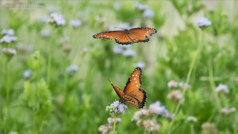 Fun with the butterflies!<br /> <br /> About 15 beauties were working hard to feed on these wildflowers last week in Texas.  We spent at least 3 hours with them and the Mockingbirds.  Always challenging to catch the flights!<br /> <br /> Hope to plan my next trip soon, let me know if you are interested in heading south!<br /> <br /> Queen Butterflies<br /> Raymond Barlow USA Workshops - Wildlife and Nature<br /> <br /> ray@raymondbarlow.com<br /> Nikon D850 ,Nikkor 200-400mm f/4G ED-IF AF-S VR<br /> 1/1250s f/8.0 at 400.0mm iso3200