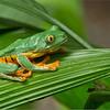 RJB_1049 Yellow Eyed Tree Frog 1200 web
