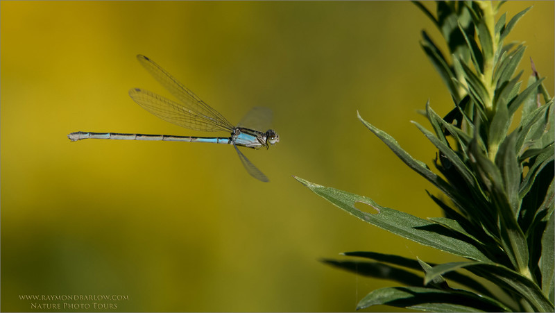 """Damselfly in Flight<br /> Raymond's Ontario Nature Photography Tours<br /> <br />  <a href=""""http://www.raymondbarlow.com"""">http://www.raymondbarlow.com</a><br /> Nikon D810 ,Nikkor 200-400mm f/4G ED-IF AF-S VR<br /> 1/2500s f/7.1 at 400.0mm iso1600"""