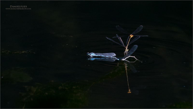 Damselflies hanging out!<br /> <br /> Neat to have the black water here and the shiny iridescent damselflies shoeing off their colours!  I hope to go back soon for more fun and challenge. <br /> <br /> Thanks for looking!