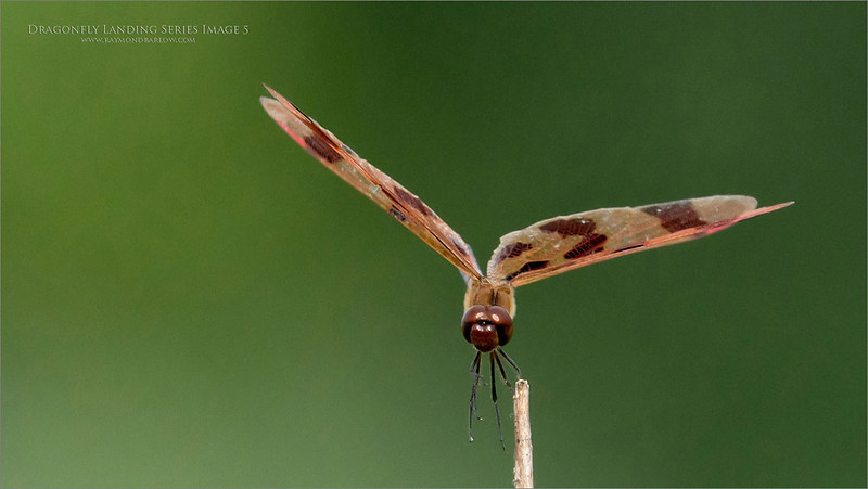 A 6  image series of a Landing dragonfly.  - Image 5