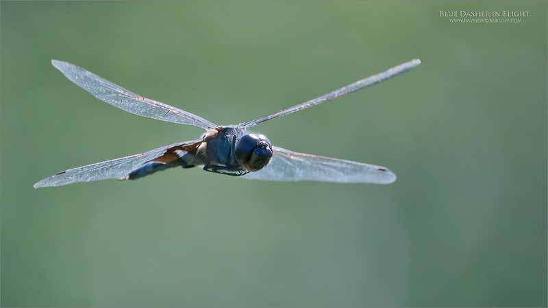 Backlite Blue Dasher<br /> One of over 1000 image taken of dragonfly's in flight.<br /> The success rate was way past anything I could dream of with Nikon equipment... Mind blowing AF on the a9 camera.<br /> <br /> So much fun!