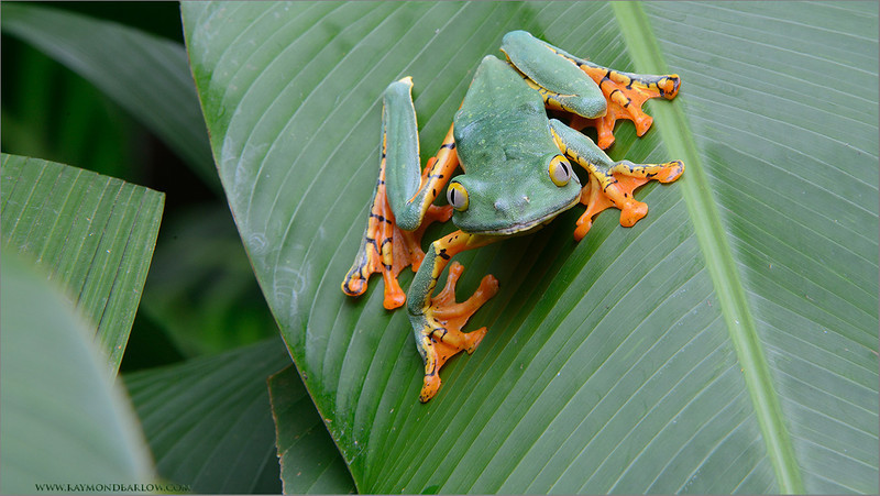 RJB_1001 Yellow-eyed Tree Frog 1200 web